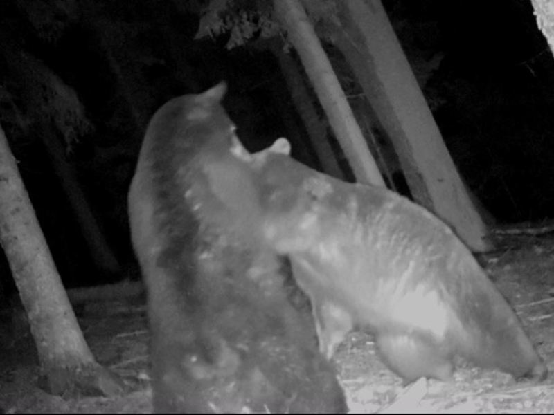 Two Bear Fighting In Idaho