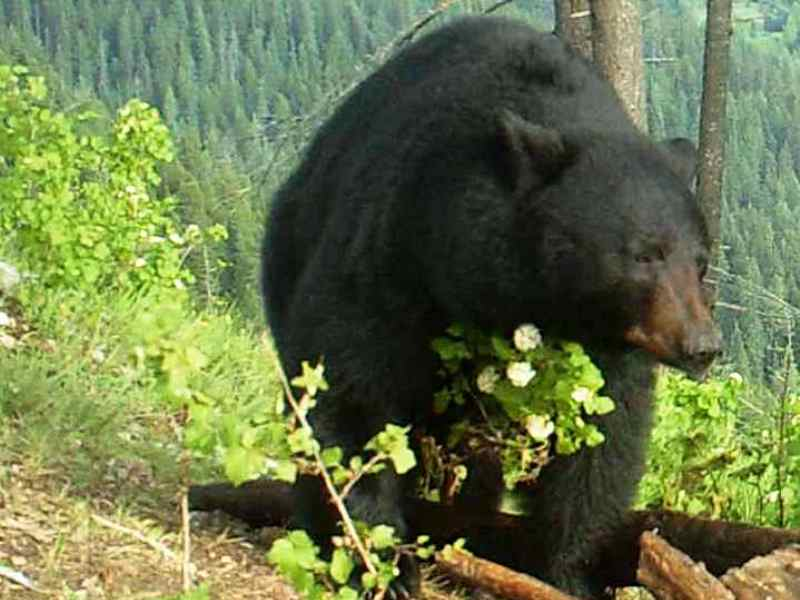 Fall Black Bear Hunting
