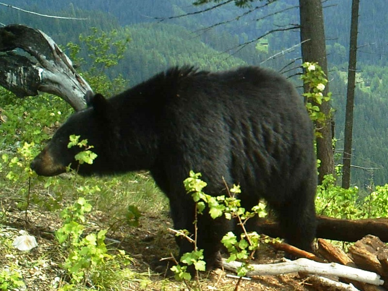 Idaho Baited Black Bear Hunt