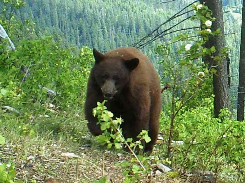 Idaho Bear Bait Hunt