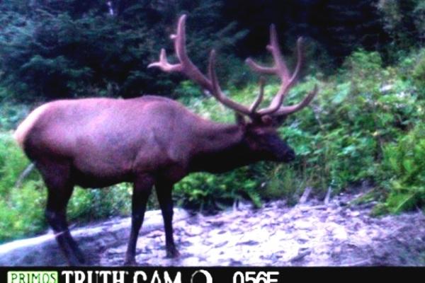 Elk Hunting Trailcam Photo 6x7