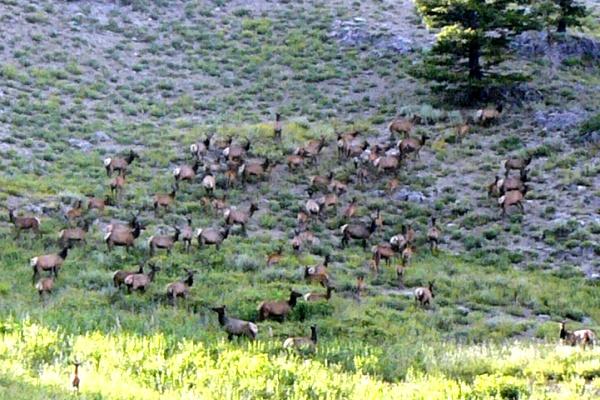 Photo Of Idaho Elk Herd