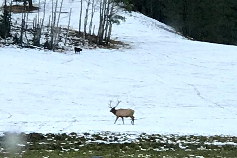 Montana Bull Elk Hunting